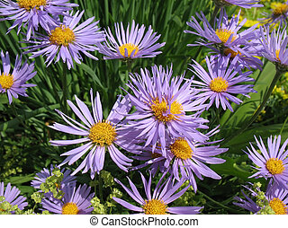 Bluish Aster Aster tongolensis, family Compositae