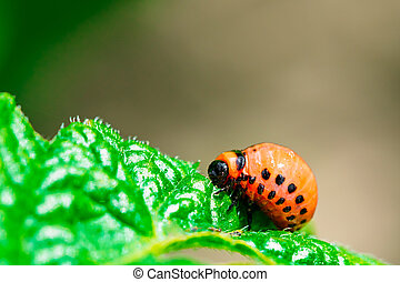 Macro shoot of potato bug on leaf - The Colorado potato...