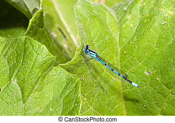Common Blue Damselfly perched on a plant leaf