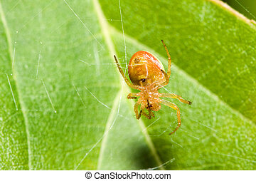 Female Cobweb Spider fixing a broken web.