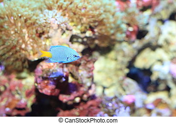 Yellowtail Damselfish...