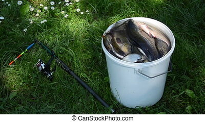 bucket fish - big white bucket lie many fish roach bream...