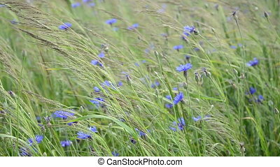 bluebottle flower wind - Natural blue wild cornflowers bluet...