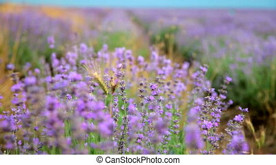 Lavender flowers in flowering field closeup