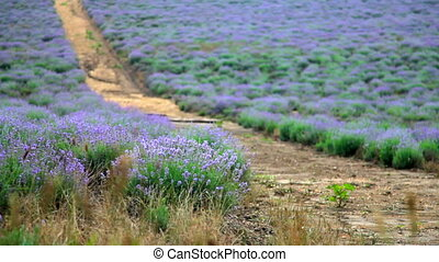 Dirt road through the blooming lavender field in the summer