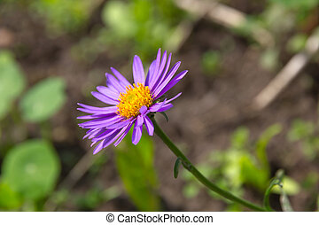 Flower of Alpine aster (Aster alpinus).