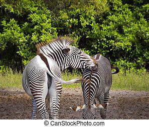 Pair of Zebras - Beautiful Zebra, tenderly grooming their...