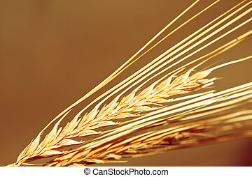 Golden wheat close up background.