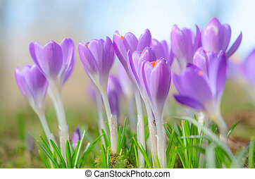 Beautiful spring crocus flowers on sunlit Alpine glade -...