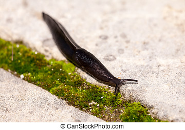 Slug - Black slug / snail on pavement.