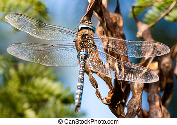 Macro dragonfly - macro shoot of a dragonfly resting on a...