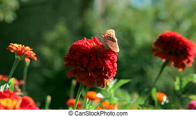 butterfly on red flower, Crimea