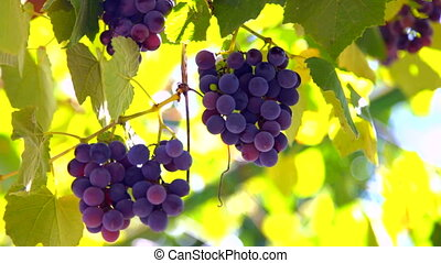 Bunches of Isabella grapes on the vine closeup