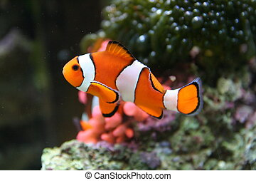 NEMO-LIKE CLOWN FISH - Under water view of False Percula...