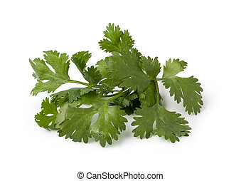 cilantro - Fresh cilantro isolated on white background
