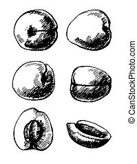Apricots - Set of 6 hand- drawn apricots on white background