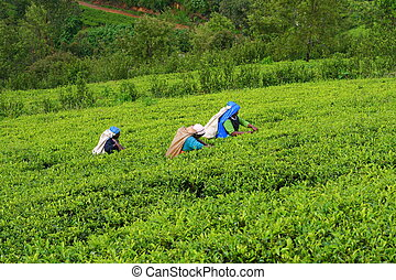 Tea Country - Tea Plantation Field with workers in Nuwara...
