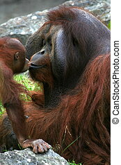 Sweet Kiss - Baby orangutan kissing his dad.