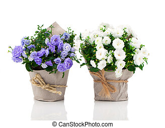 blue and white Campanula terry flowers in paper packaging,...