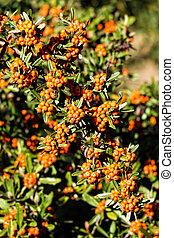 Scarlet firethorn ornamental plant
