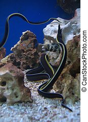 Black and Yellow Moray Eel