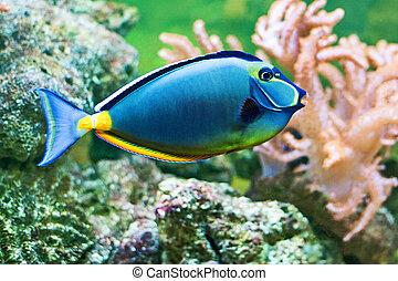 Fish - Tropical Fish Naso Tang (Naso lituratus)