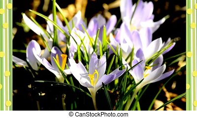 Crocus, spring flower of Germany in a floral frame