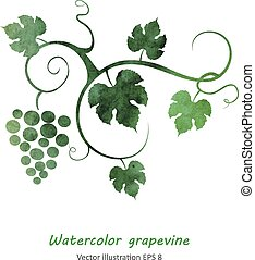 Watercolor style grapevine. Vector illustration.