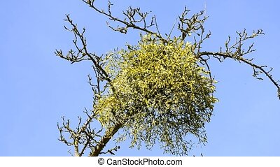 Mistletoe, flower and berries - Mistletoe, medicinal plant...
