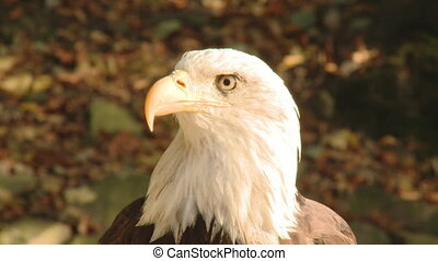 Close up portrait of a wild eagle
