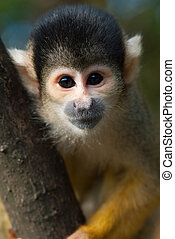 cute squirrel monkey Saimiri subfamily: saimiriinae