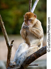 barbary ape relaxing - portrait of a barbary ape relaxing on...