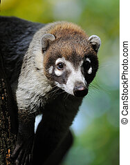 White-nosed Coati Nasua narica also known as the Pizote or...