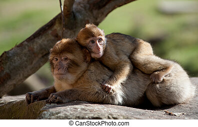 barbary ape and baby - mother and baby barbary ape