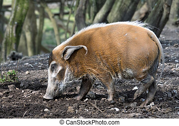 Red River Hog (Potamochoerus porcus)