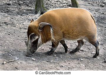 Red River Hog Potamochoerus porcus