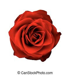 Realistic Red Rose High Quality Vector Illustration EPS10
