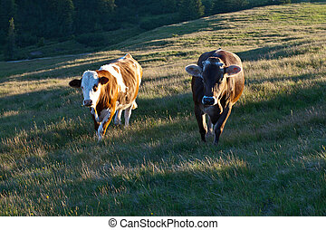two diferent cows on a grassy hill