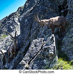The Alpine ibex, (Capra ibex), is a species of wild goat...
