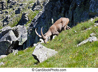 The Alpine ibex, Capra ibex, is a species of wild goat that...
