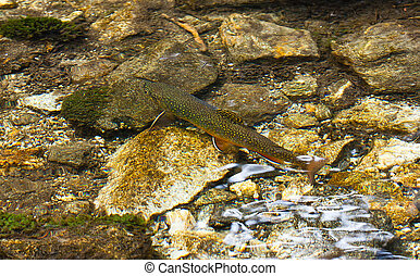 Char in the clear mountain Alpine creek latin name...