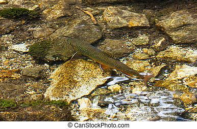 Char in the clear mountain Alpine creek latin name...