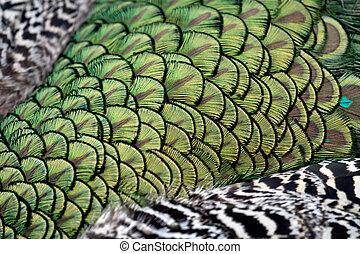 Peacock Pavo cristatus