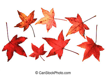 Sweetgum Liquidambar - Sweetgum leaves Liquidambar in autumn...