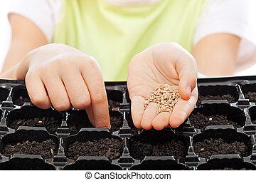 Germinación, semillas, bandeja, siembra, niño