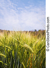 Barley field for growing under blue sky