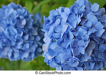 Hydrangea in full bloom - Colorful hydrangea in full bloom,...