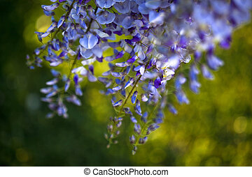 Wisteria and green background in a garden