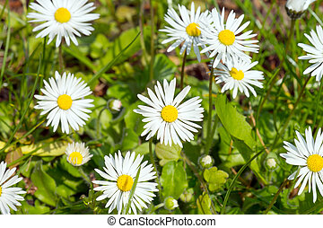 Marguerites in a garden