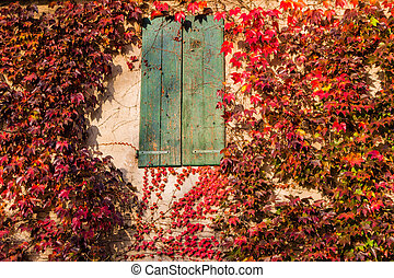Japanese creeper and old window - Red, green and orange...